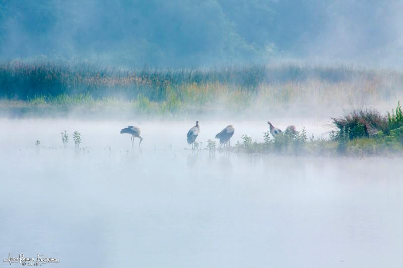 ciguena-blanca-salburua
